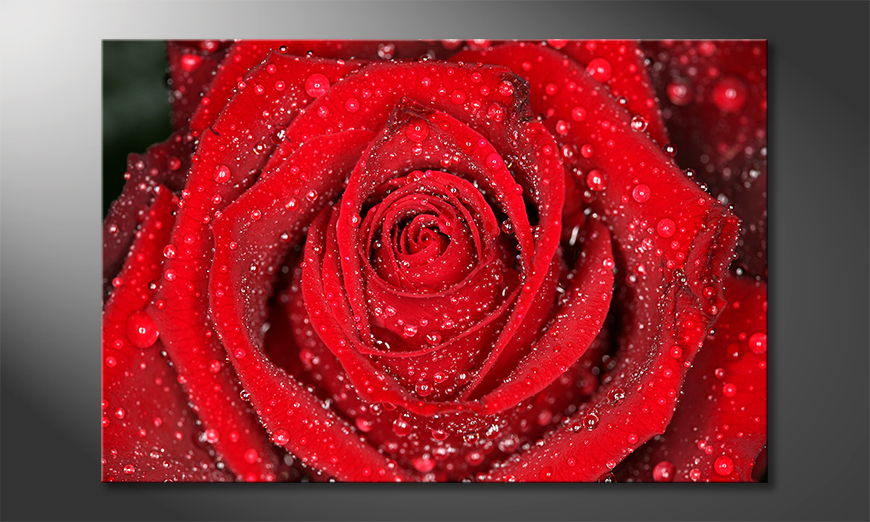 Morning Rose Obraz